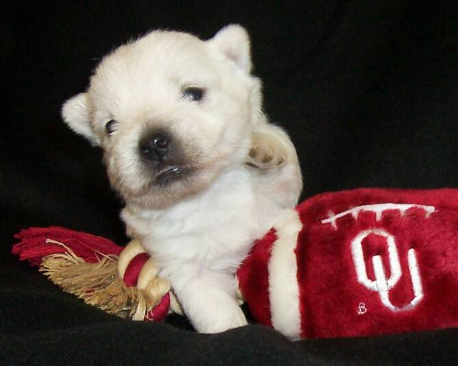 Tamn's Puppies (West Highland White Terriers--AKA Westies